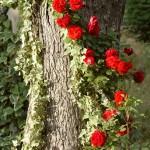 роза вьется по стволу дерева