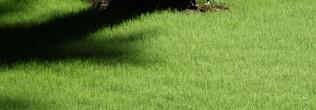 принципы выбора рулонного газона