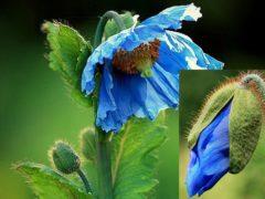 Меконопсис многолетний — синий цветок, фото в саду