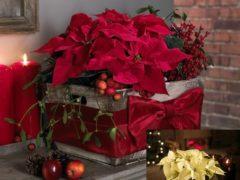 Цветок Рождественская звезда — очаровательная пуансеттия в доме