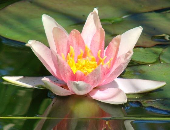 Водяные лилии белые розовые красные