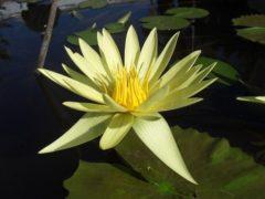Кувшинки (нимфеи) для водоема в саду