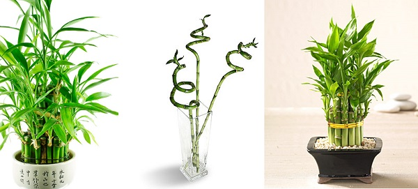 фото комнатное растение бамбук