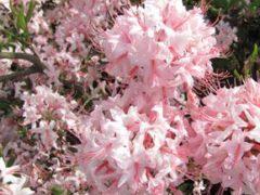 Рододендроны: правила выращивания на загородном участке