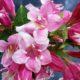 Вейгела: красивый кустарник с крупными цветками