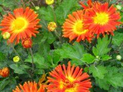 Корейская хризантема — цветок, устойчивым к морозам