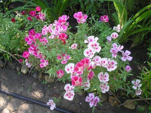 цветы годеции по краю клумбы