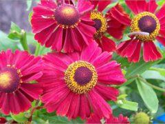Цветок многолетник — фото и название