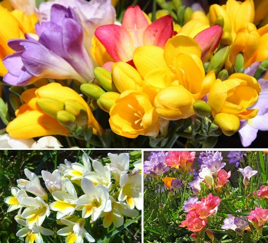 как цвете фрезия фото