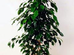 Фикус Бенджамина сбрасывает листья – как подлечить цветок?