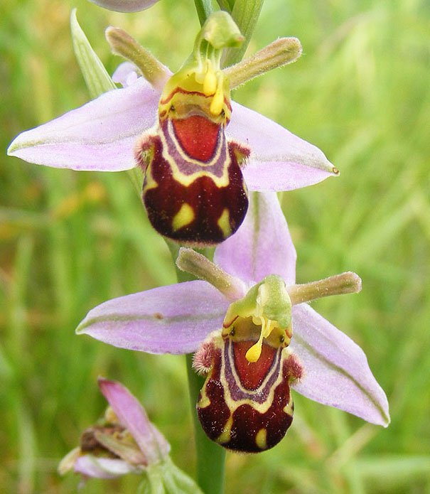 Ophrys bomybliflora 2