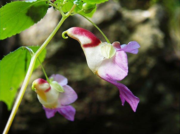 орхидея Impatiens-Psittacina