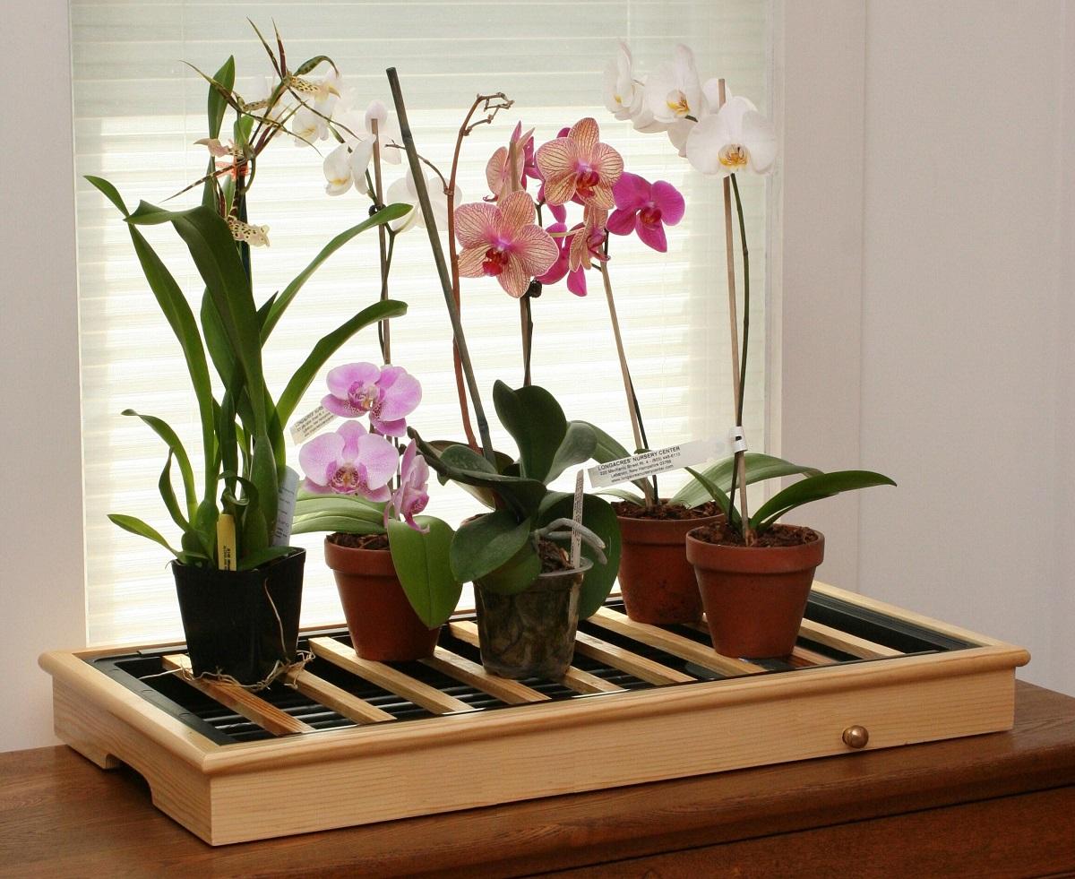 орхидеи фаленопсис на окне фото