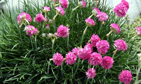 армения приморская фото как цветет