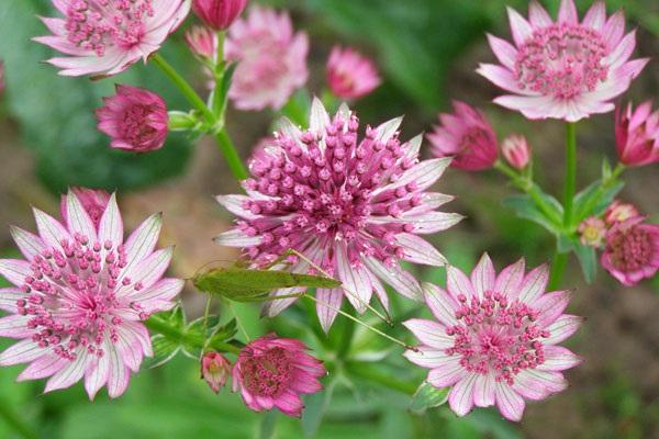 цветок астранция цветет все лето