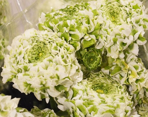 фото ранункулюса сорта зеленый помпон