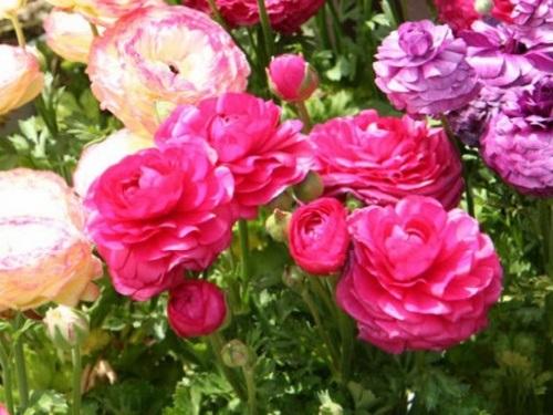ранункулюсы в саду фото