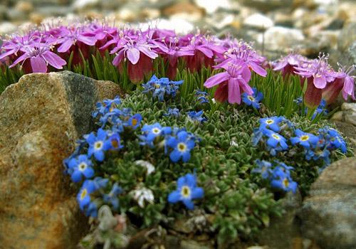 синие цветы на альпийской горке