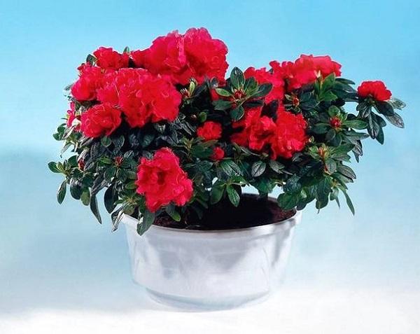 почему не цветет цветок азалия