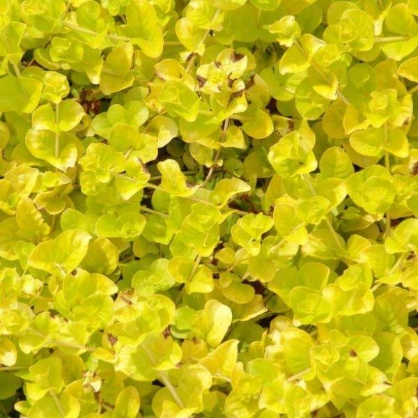 фото растений для альпийских горок