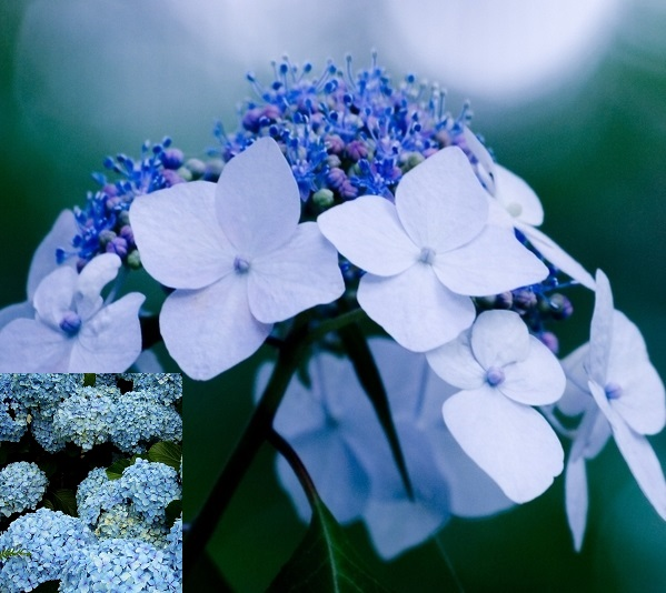 голубая гортензия фото в ландшафтном дизайне