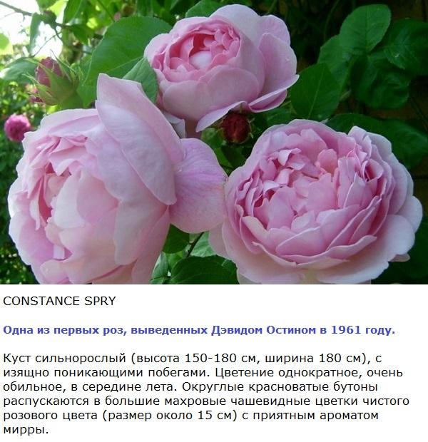 фото роз Остина