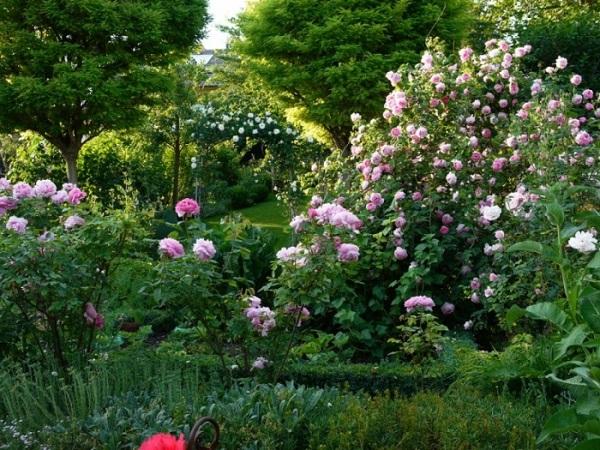 картинки роз Остина