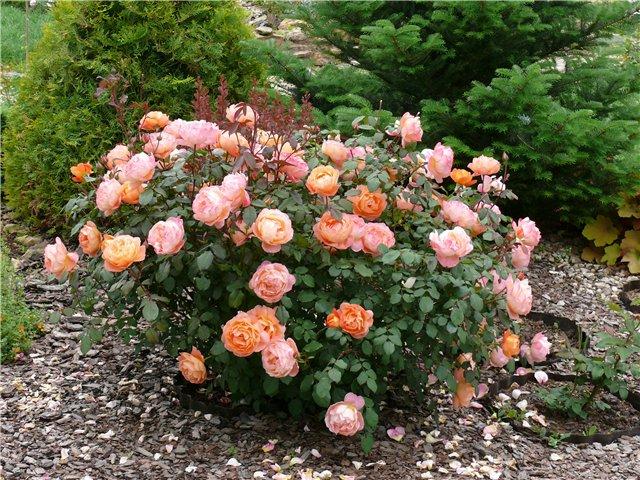 остинки фото розы Остина ландшафт участка примеры