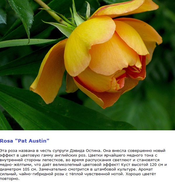 сорт пан Остин фото желтой розы Остина