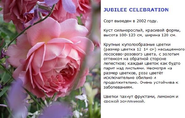 роза розового цвета крупная остинка фото