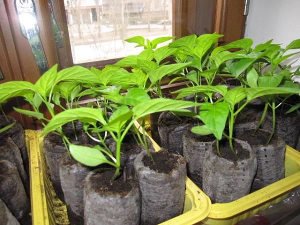 Как сеять перец на рассаду 73