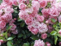 Розы в ландшафтном дизайне фото