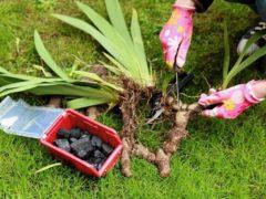 Как разделить ирисы, чтобы цветы не болели