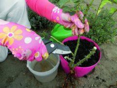 Как посадить розу — пошаговый мастер класс