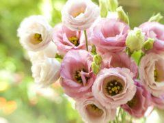Выращивание крупноцветковой эустомы из семян