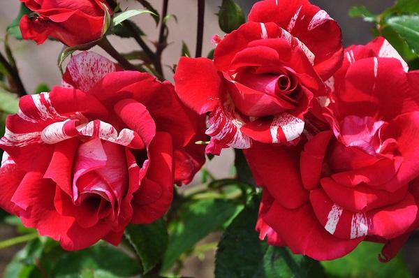 цветы розы фердинанд фото