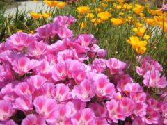 Однолетники продолжительного цветения — фото долго цветущих цветов