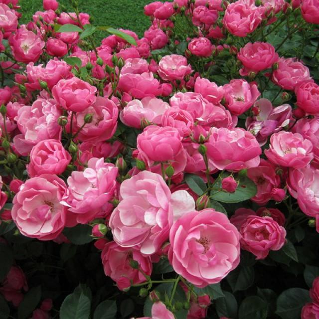 Моцарт роза фото