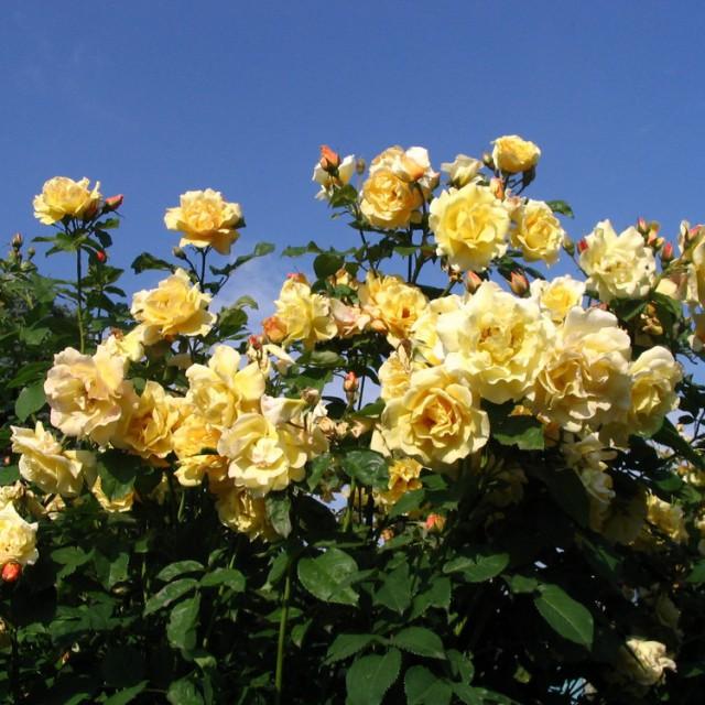 Postillion роза картинки