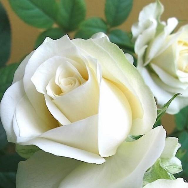 Белое облако фото розы