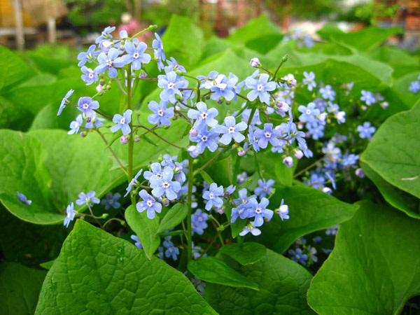 бруннера цветок фото