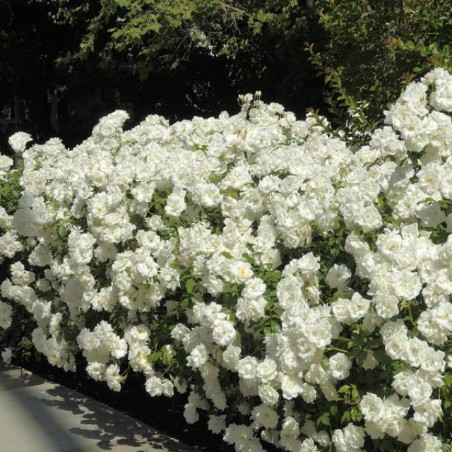 белая роза фото