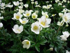 Тенелюбивые многолетние цветы для сада фото