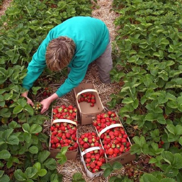 Как обработать клубнику после сбора урожая в августе