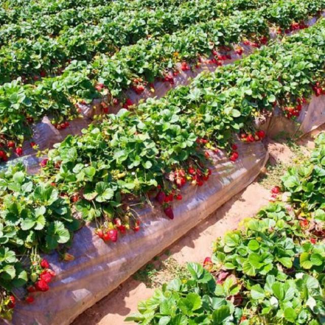 Что делать с кустами клубники после сбора урожая в августе
