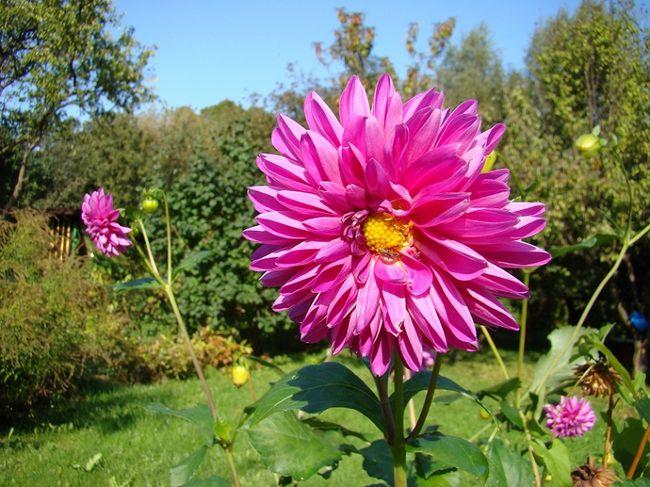 фото цветка георгина розового цвета