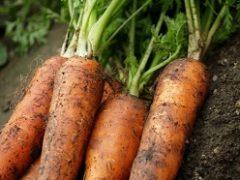 Когда сажать морковь в 2018 году