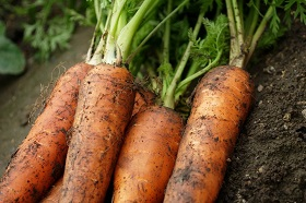 Когда сажать морковь в 2016 году