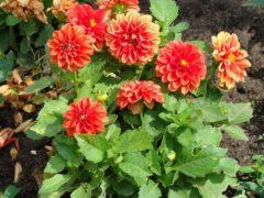 Цветы георгины – посадка, выращивание, сорта, фото