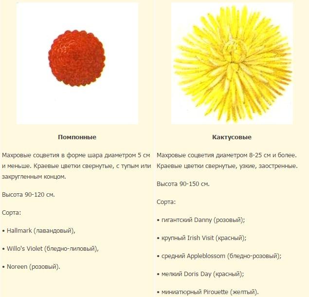 классификация георгинов